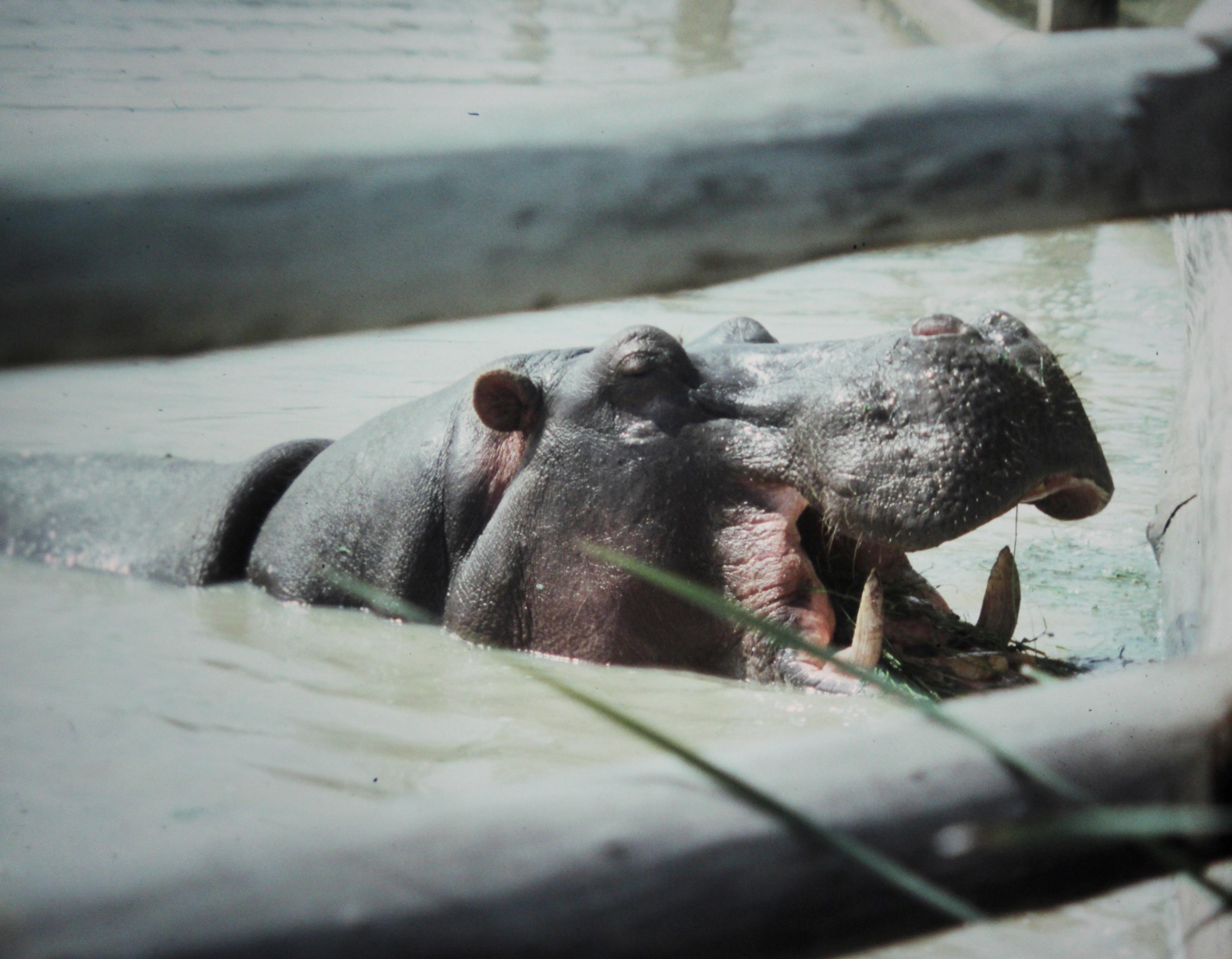 Image of <i>Hippopotomus amphibius</i>