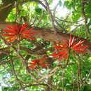 Image of <i>Erythrina coralloides</i> DC.