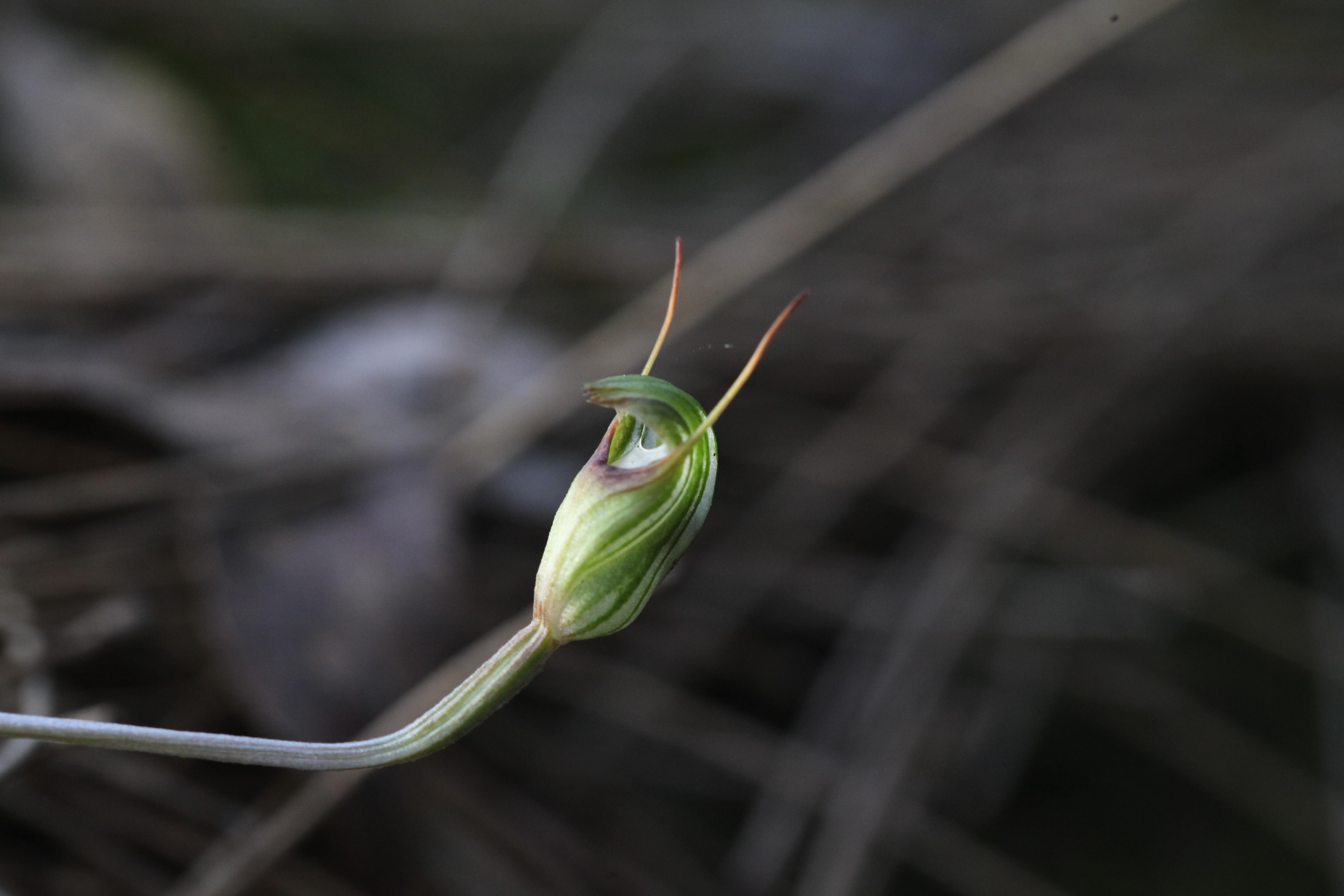 Image of Trim greenhood