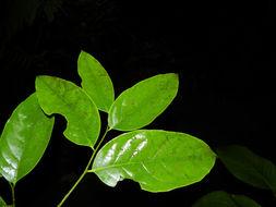Image of <i>Drypetes brownii</i> Standl.
