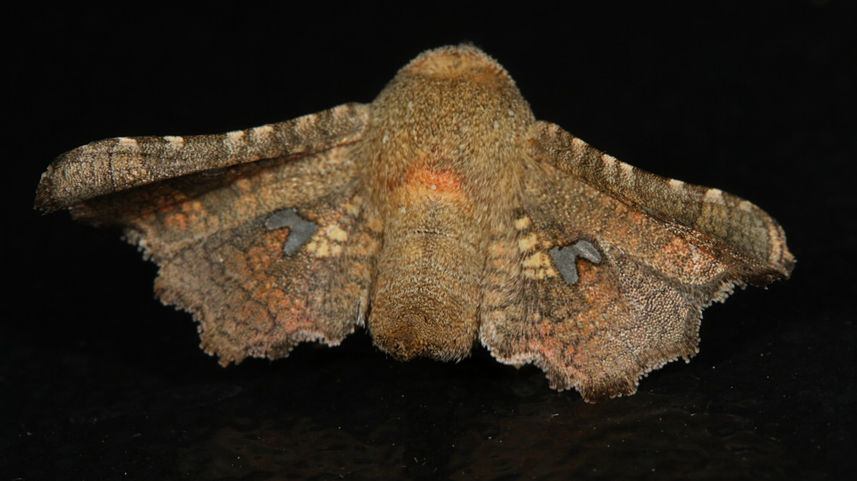 Image of <i>Dysodia granulata</i> Neumoegen 1883