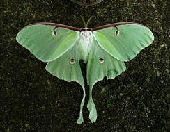 Image of Luna Moth