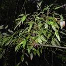 Image of <i>Ischnosiphon gracilis</i> (Rudge) Körn.
