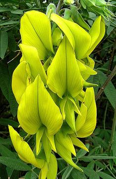 Image of <i>Crotalaria laburnifolia</i> L.