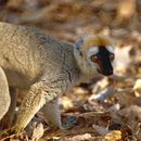 Image of Bennett's brown lemur