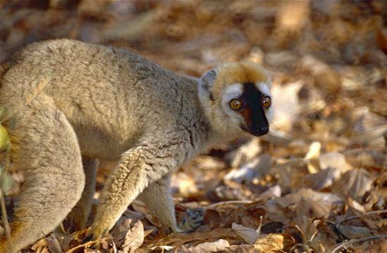 Image of Bennett's Brown Lemur