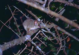Image of Gray Mouse Lemur