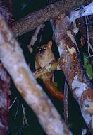 Image of Coquerel's Dwarf Lemur