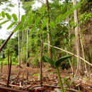 Image of Guapuruvu tree