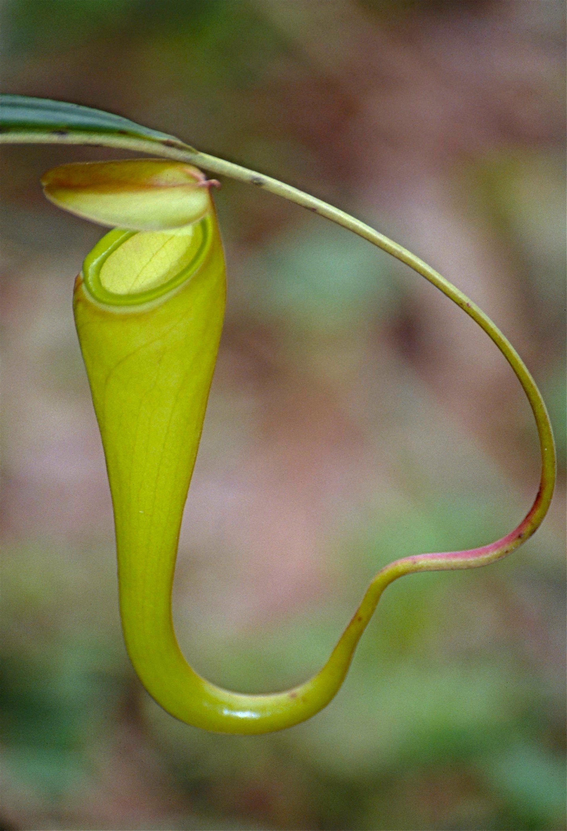 Image of Madagascar pitcher plant