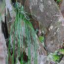 Image of shoestring fern