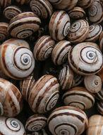 Image of Mediterranean Coastal Snail