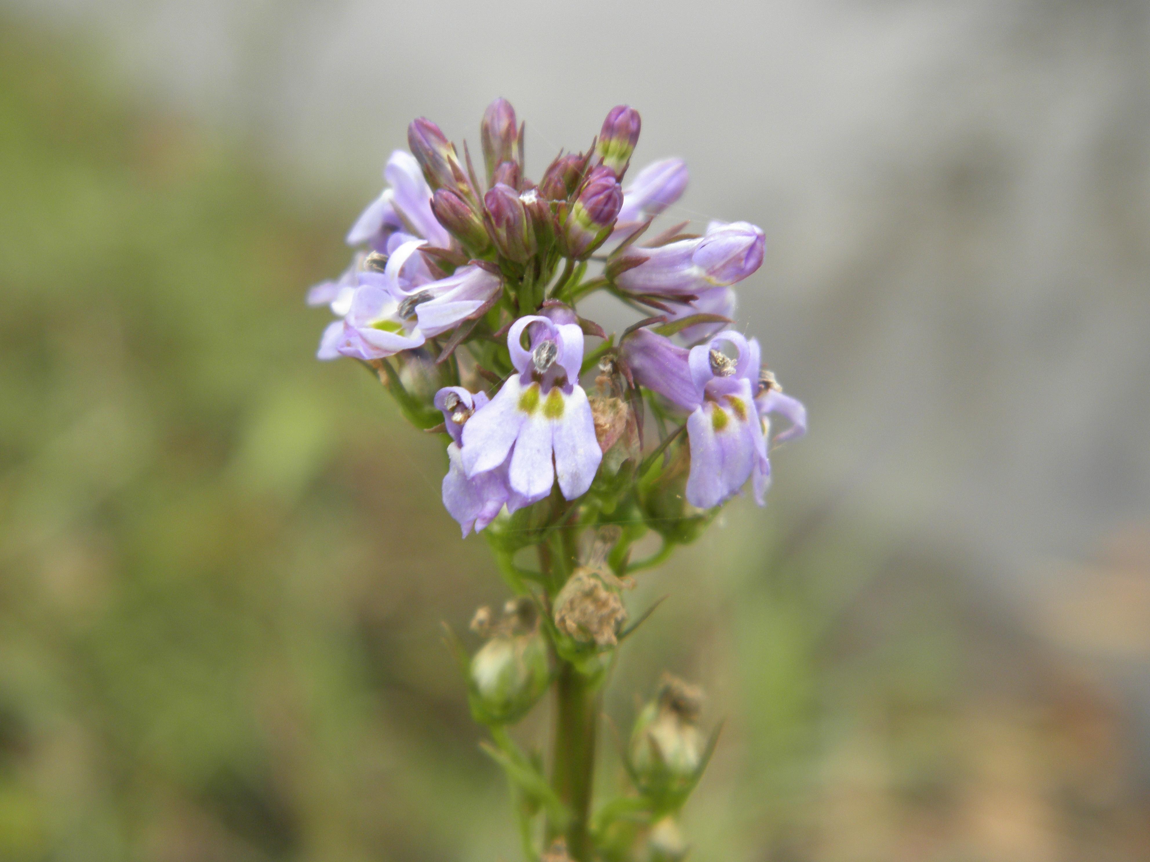 Image of pineland lobelia