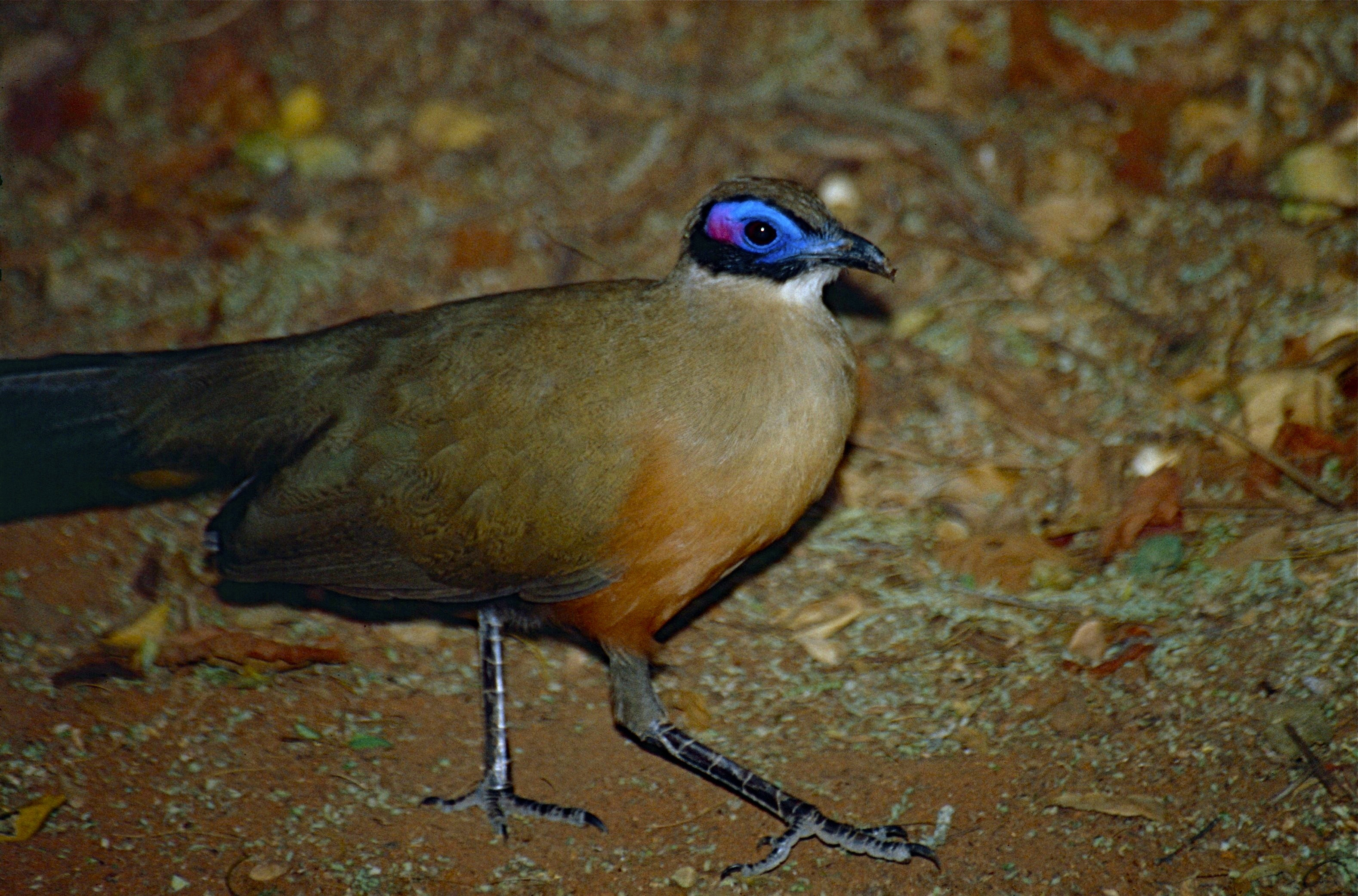 Image of Giant Coua