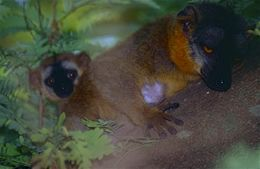 Image of Collared Brown Lemur