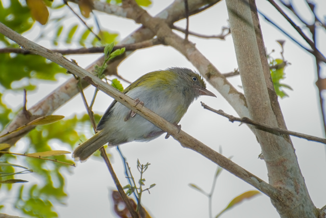 Image of Gray-chested Greenlet