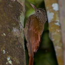 Image of Striped Woodcreeper