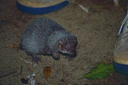 Image of Greater Hedgehog Tenrec