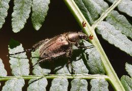 Image of <i>Anthypna carceli</i>