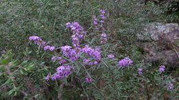 Image of <i>Hovea longifolia</i> R. Br.