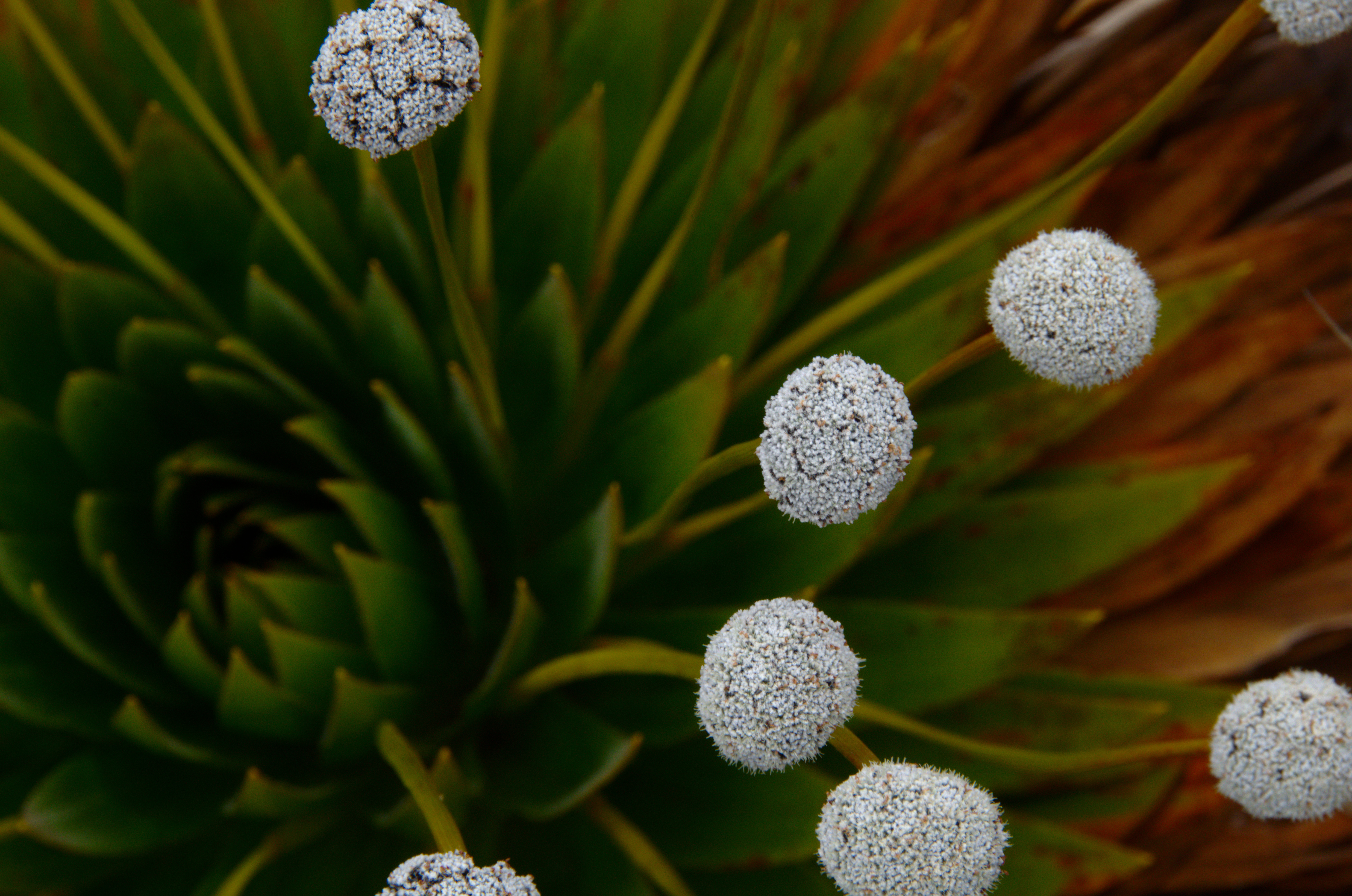 Image of <i>Paepalanthus columbiensis</i>