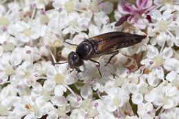 Image of <i>Stenalia testacea</i> (Fabricius 1787) Fabricius 1787