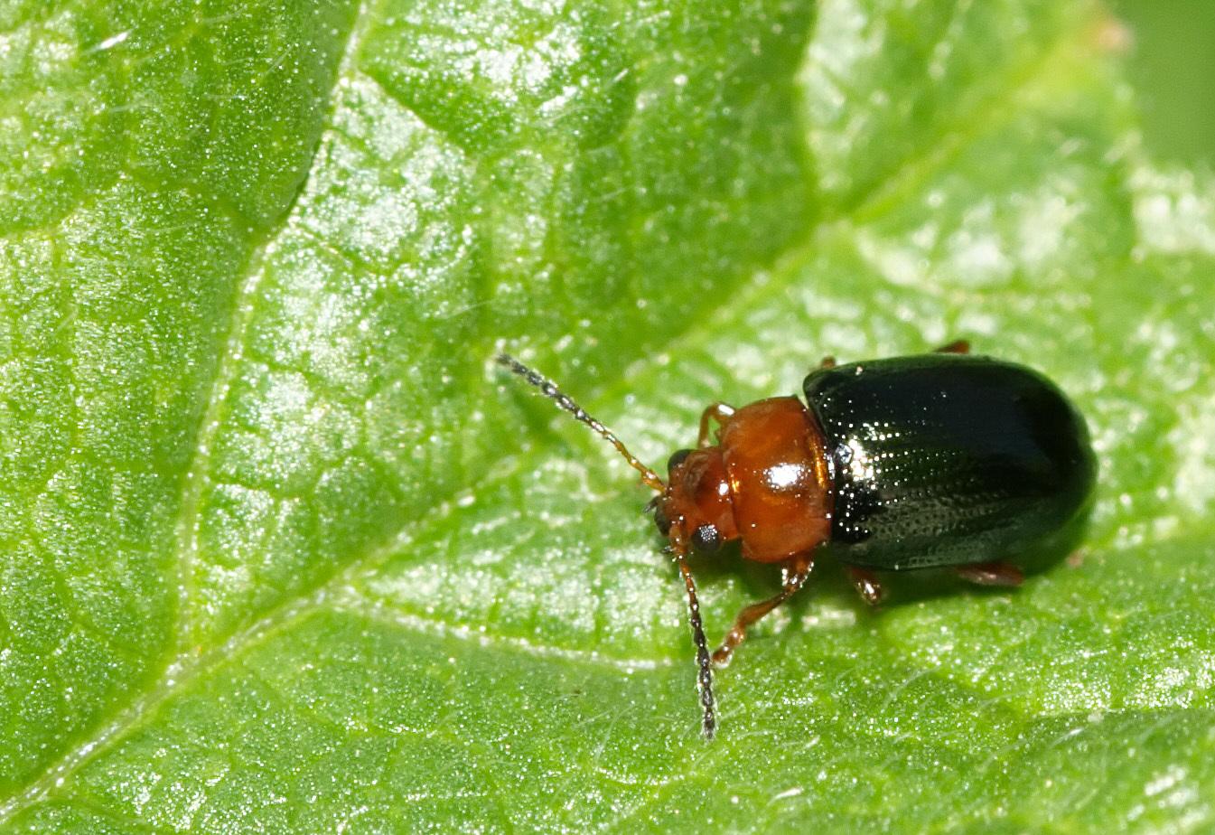Image of Cereal leaf beetle