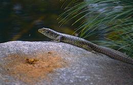 Image of Southeastern Girdled Lizard