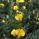 صورة <i>Adesmia bicolor</i> (Poir.) DC.