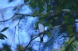 Image of Blue Vanga