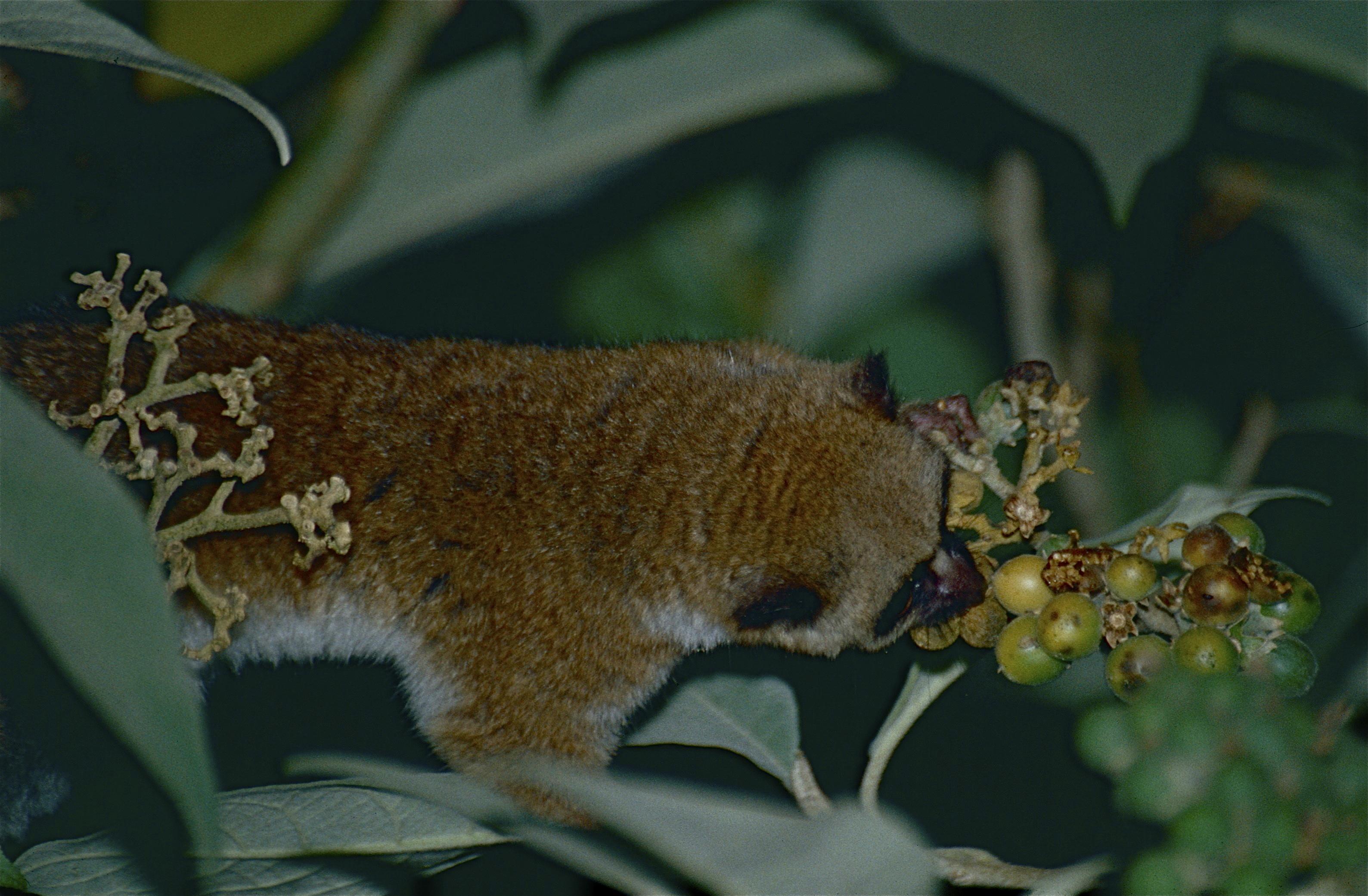 Image of Geoffroy's Dwarf Lemur