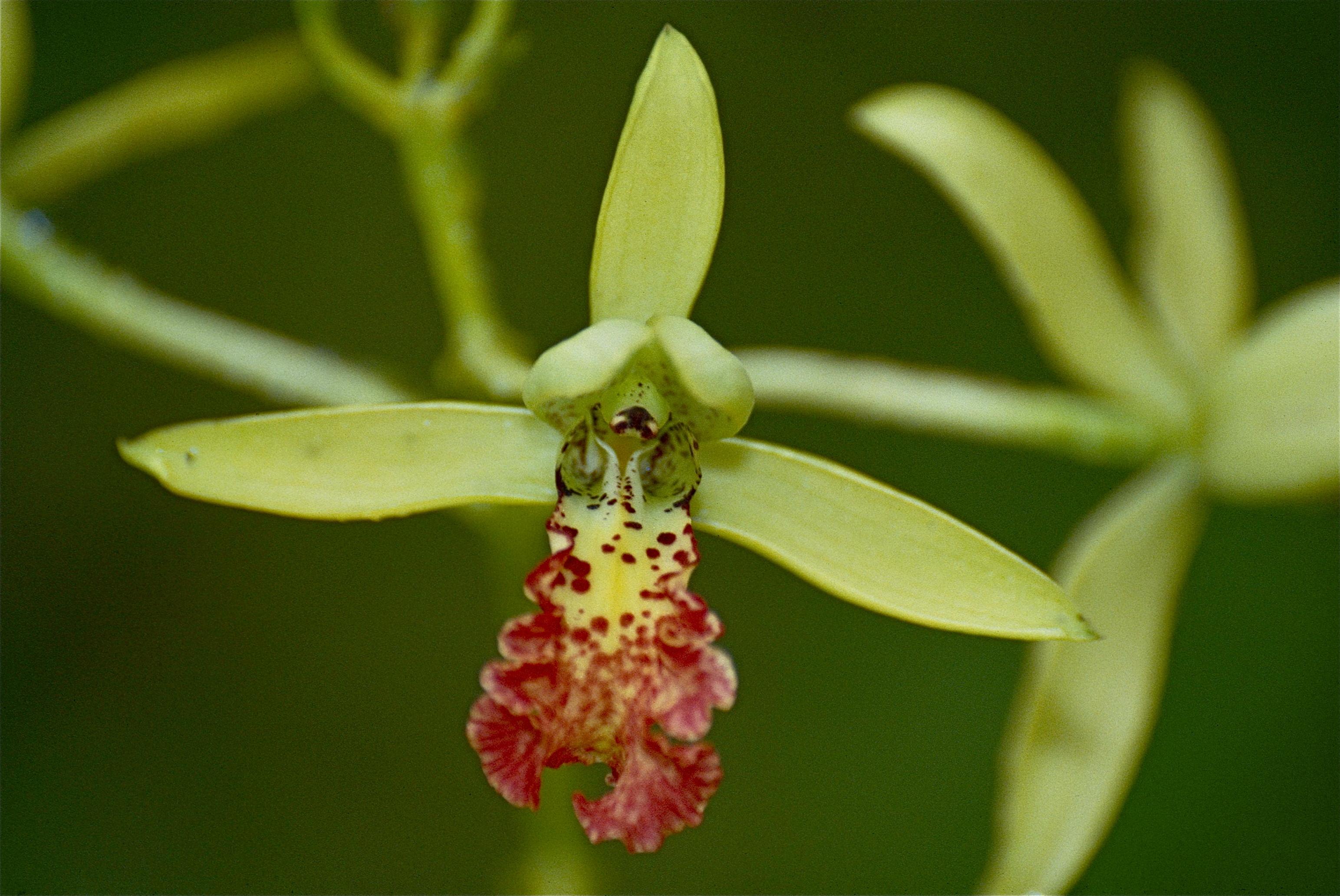 Image of <i>Cymbidiella rhodochila</i>