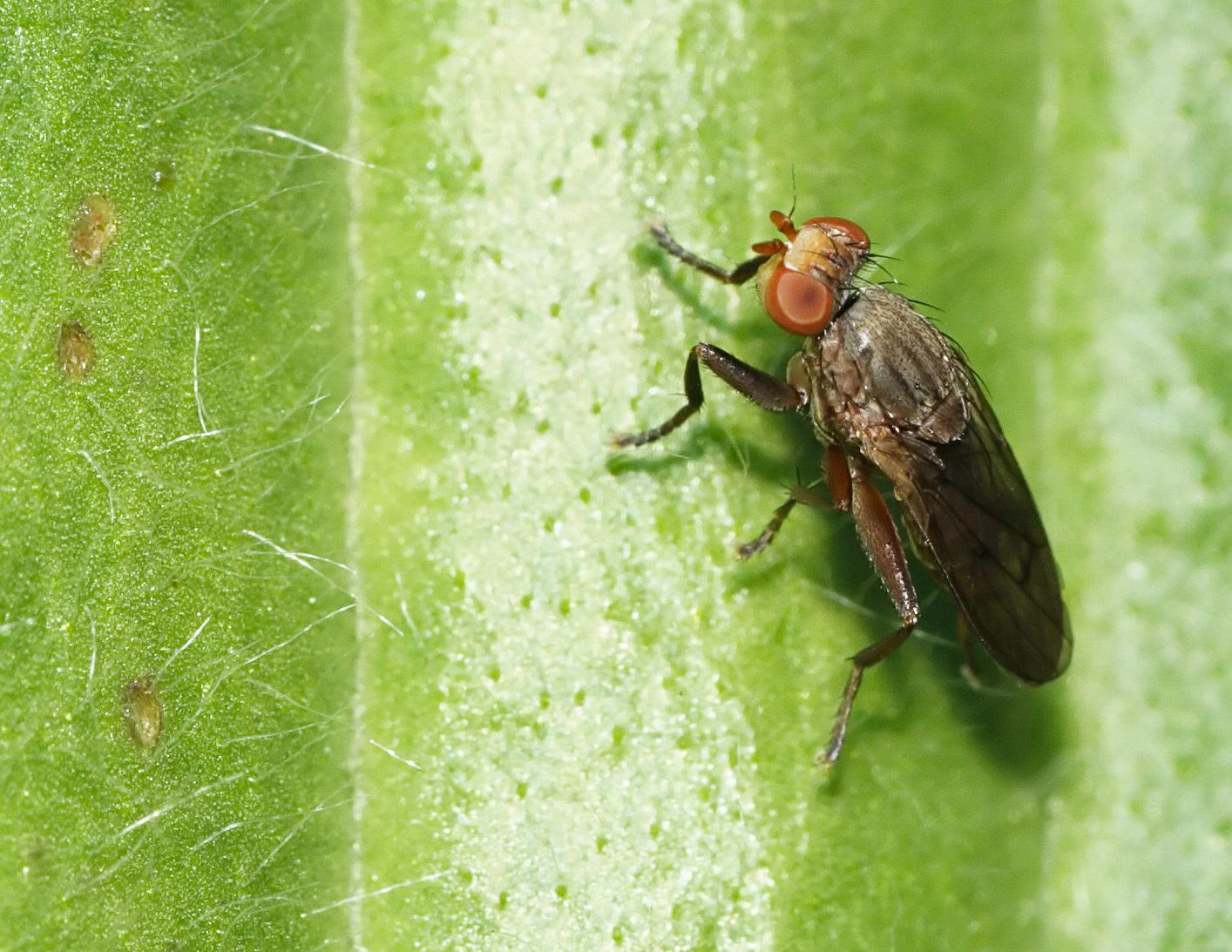 Image of <i>Pelidnoptera nigripennis</i> (Fabricius 1794)