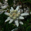 Image of <i>Leontopodium nivale</i> ssp. <i>alpinum</i> (Cass.) Greuter