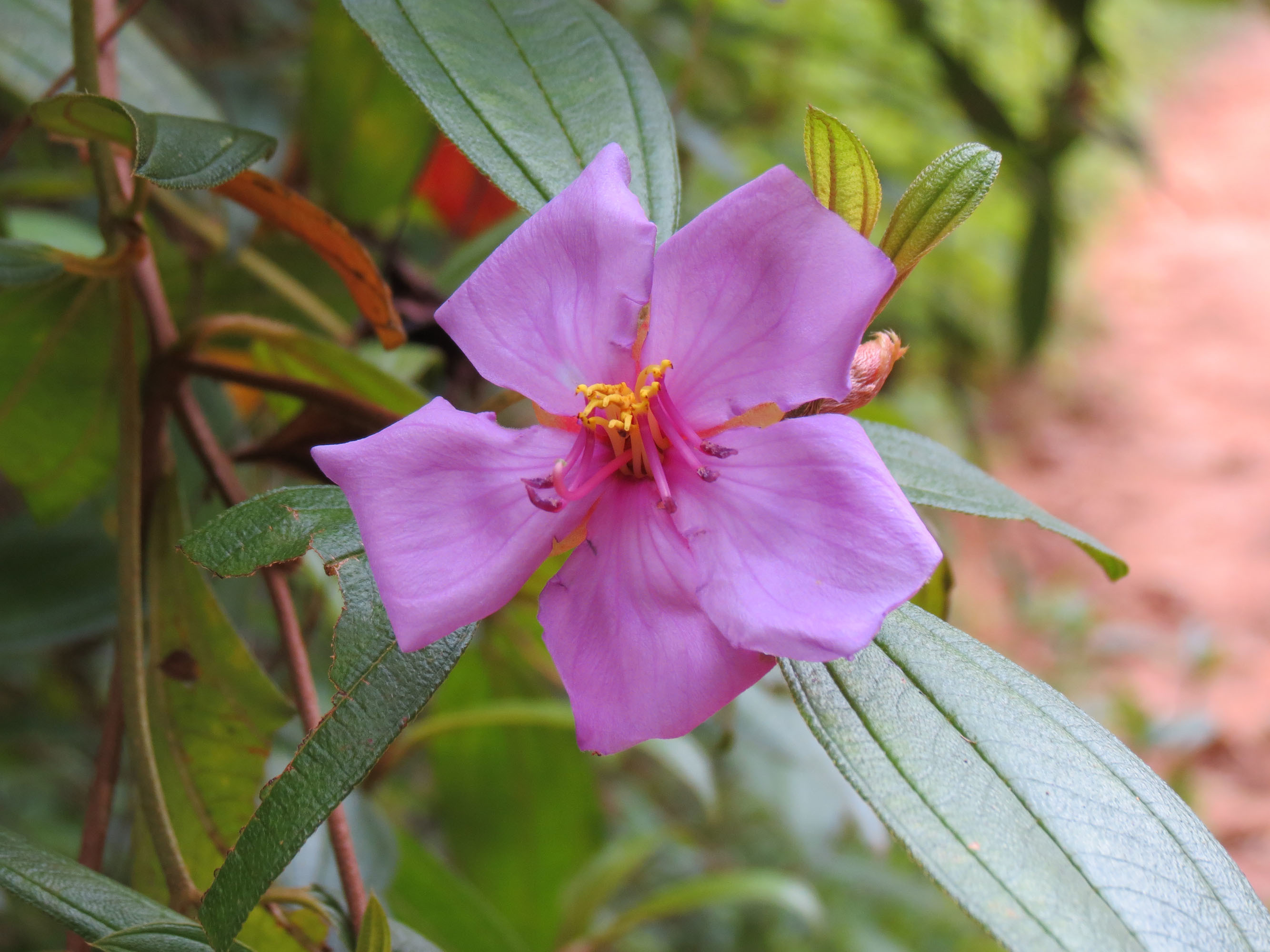 Image of Malabar melastome
