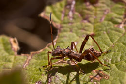 Image of Broad-Headed Bug