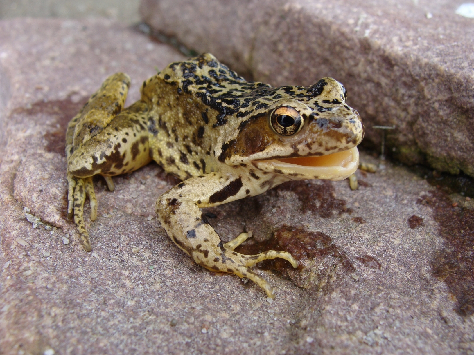 Image of Common frog