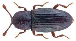Image of <i>Cerylon histeroides</i> (Fabricius 1792) Fabricius 1792