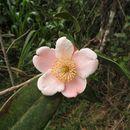 Image of <i>Gordonia dassanayakei</i> Wadhwa & Weeras.