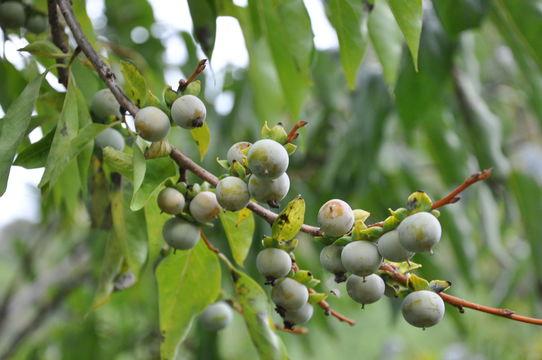Image of date plum