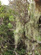 Image of <i>Usnea barbata</i> (L.) Weber ex F. H. Wigg.