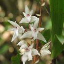 Image of <i>Eria bicolor</i>