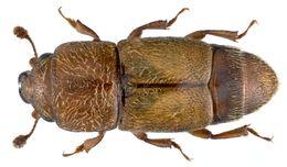 Image of <i>Carpophilus mutilatus</i> Erichson 1843