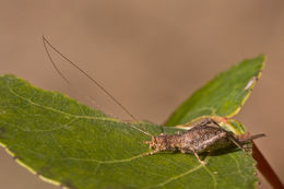 Image of <i>Arachnocephalus vestitus</i> Costa & O. G. 1855