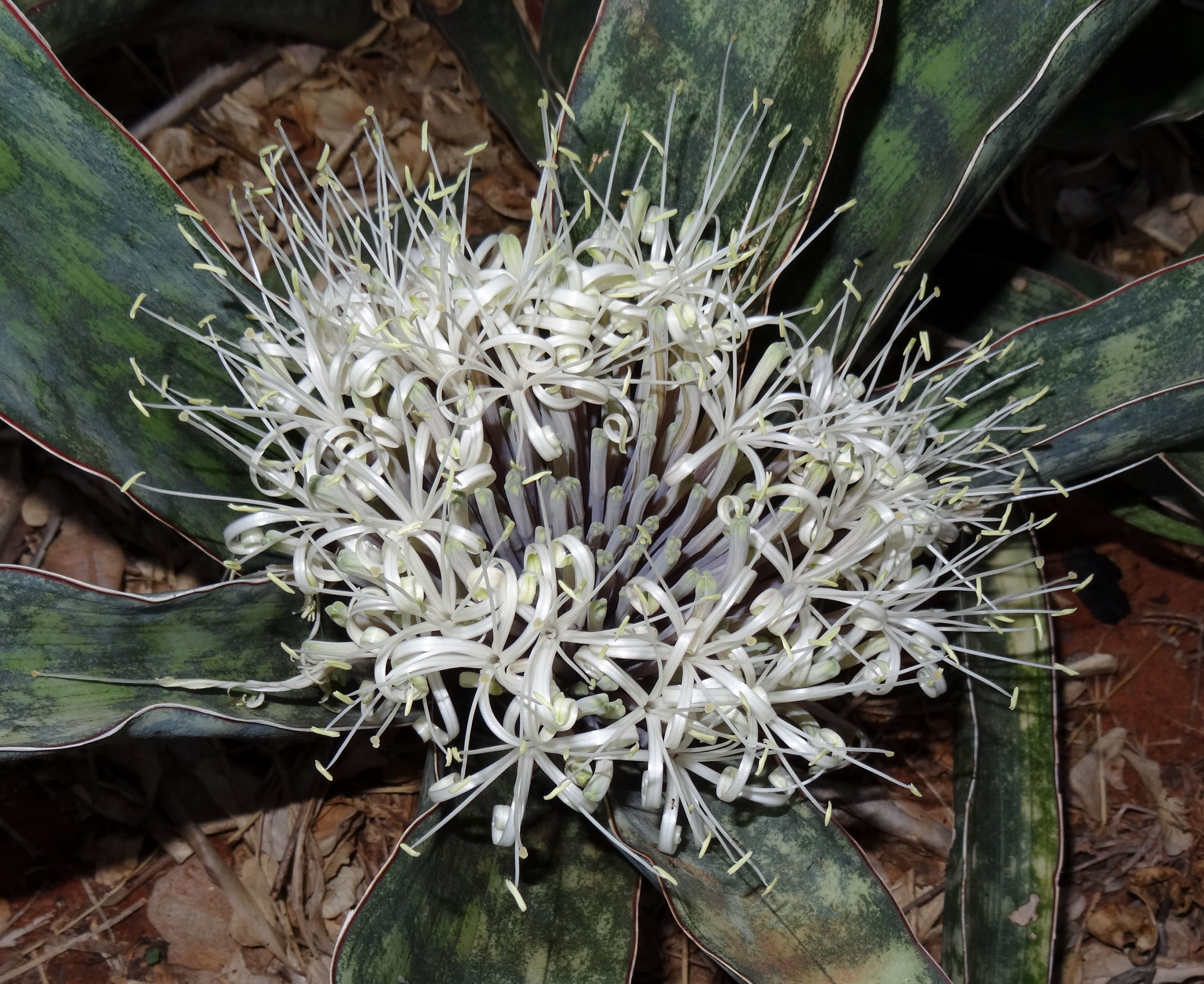 Image of <i>Sansevieria scimitariformis</i> D. J. Richards
