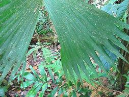 Image of <i>Caludovica palmata</i>
