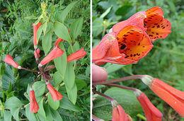 Image of <i>Bomarea acutifolia</i> (Link & Otto) Herb.