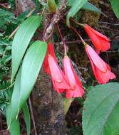 Image of <i>Bomarea costaricensis</i> Kraenzl.