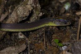 Image of Amami Odd-scaled Snake