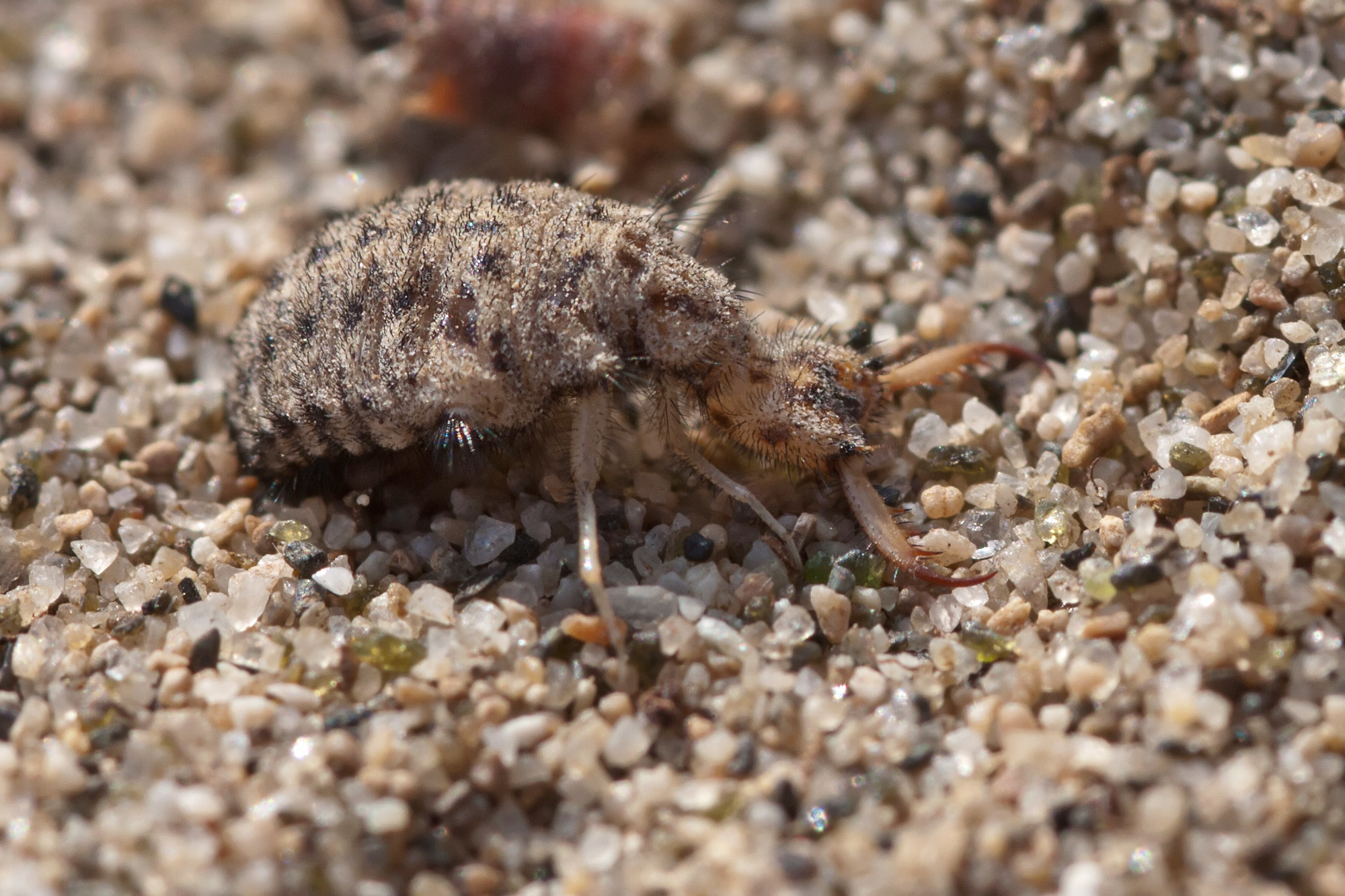 Image of ant-lion